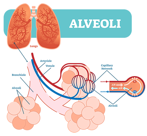 How Covid-19 Attacks the Lungs